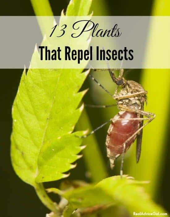 bug repelling plants